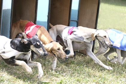 1-greyhounds